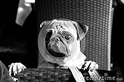 Curious pug dog