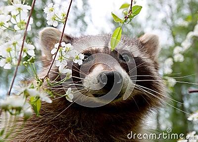 Curious racoon