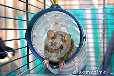 Curious rat