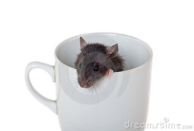 Curious rat in a cup