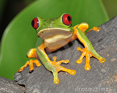 Curious red eyed green tree frog, costa rica