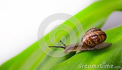 Curious snail on a leaf.