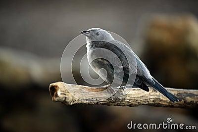Curious Songbird