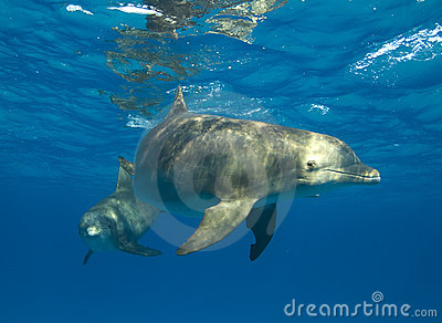 Curious Spotted Dolphin