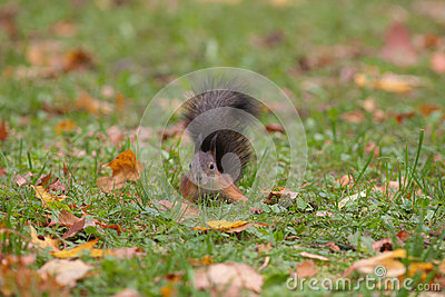 Curious squirrel in a grass