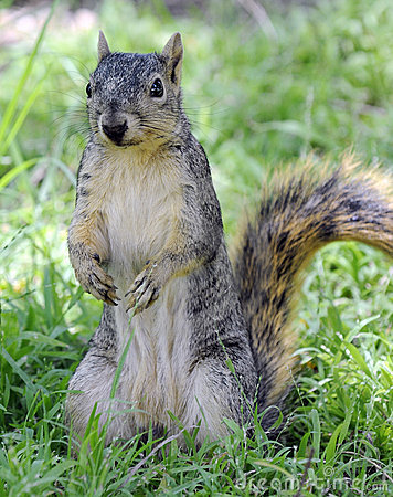 Free Curious Squirrel Standing On Hind Legs Stock Photos - 12197843