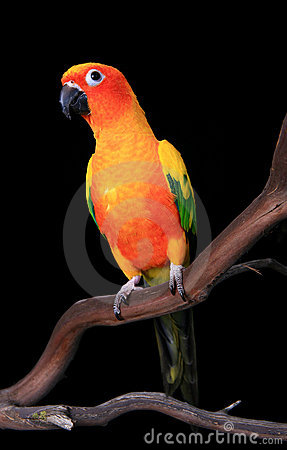 Free Curious Sun Conure Parrot Looking Ahead Royalty Free Stock Photos - 8829608
