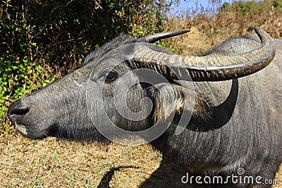 Curious Water Buffalo