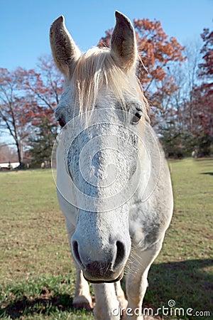Curious White Horse