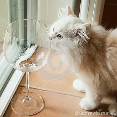 Free Curious White Kitten Smelling An Empty Wine Glass Stock Images - 36237764