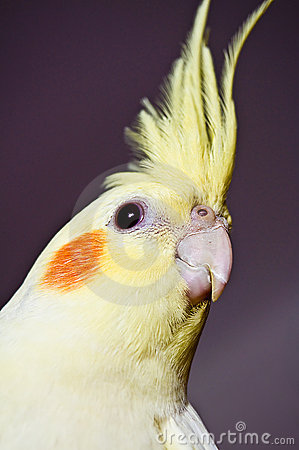 Free Curious Yellow Cockatiel Head Royalty Free Stock Photography - 12080517