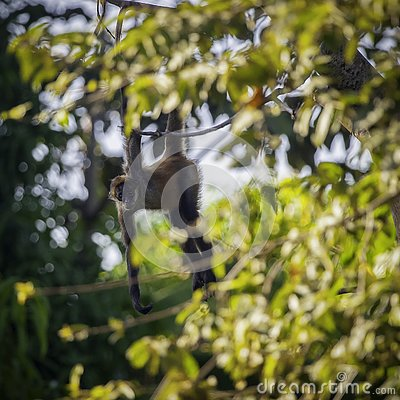 Free Curious Young Capuchin Monkey Watches From A Tree Branch Stock Images - 134189834