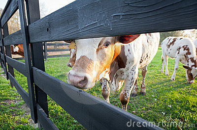 Curious Young Cow