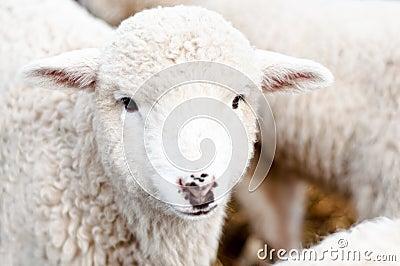 Curious Young lamb staring at camera, smiling