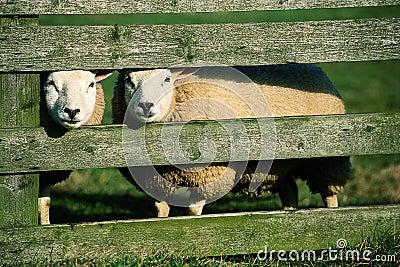 Curiuous white sheeps