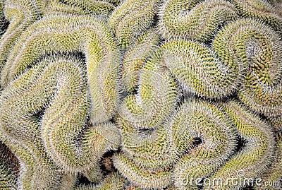 Curled cactus
