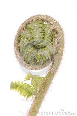 Curled fern frond detail