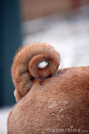 Curled sharpei tail