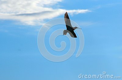Curlew fly