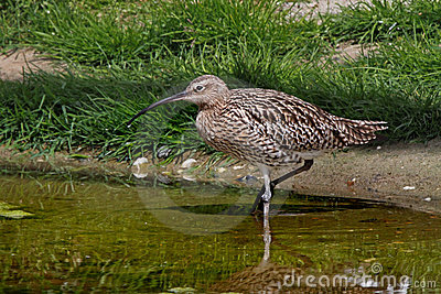 Curlew in the River