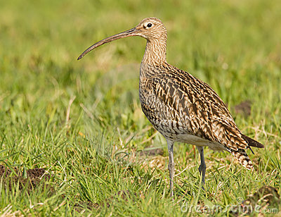 Curlew sitting in the field