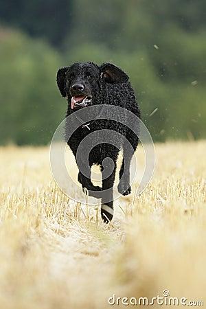 Free Curly Coated Retriever Dog Royalty Free Stock Photos - 17539818