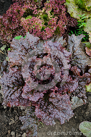 Free Curly Dark Red Lettuce Royalty Free Stock Photos - 40383148