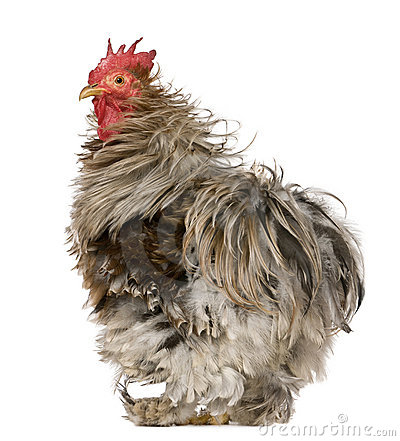 Curly Feathered Rooster Pekin, 1 year old