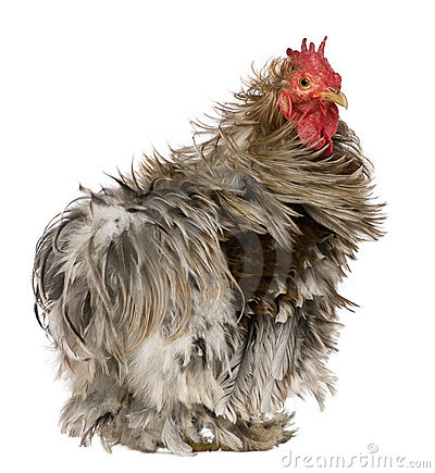 Curly Feathered Rooster Pekin, 1 years old