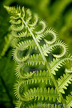 Free Curly Fern Stock Photography - 938472