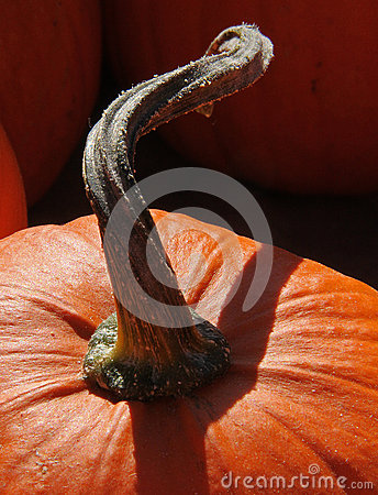 Curly Pumpkin Stem