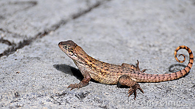 curlytailed lizard royalty free stock photography  image