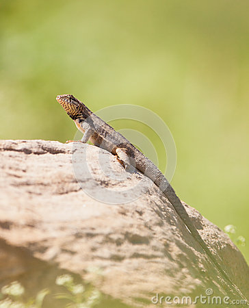 Free Curly-tailed Lizard Stock Photo - 25612400