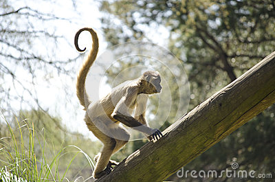 Curly-tailed Monkey