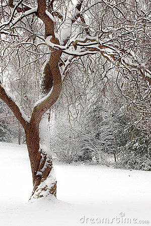 Curly tree in the snow