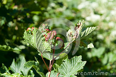 Currant aphid blisters