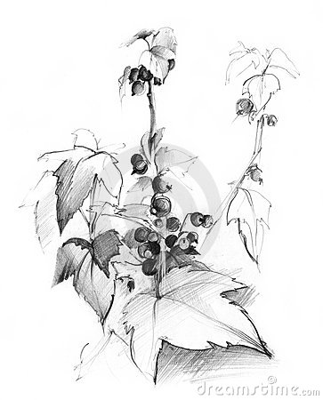 Currant bush sketch