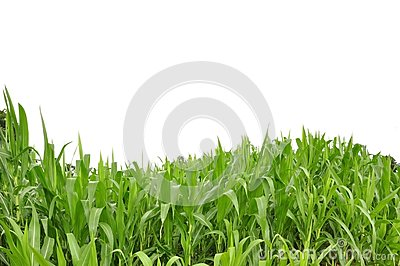 Curve grass and white isolate background