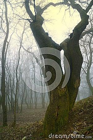 Curved oak