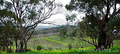 Curvy Vineyard & Eucalypts