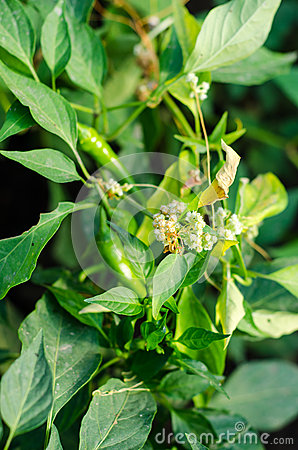 Cuscuta (dodder) plant