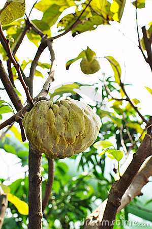 Custard apple fruit tree in the garden