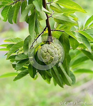 Free Custard Apple On Tree Stock Images - 58880434