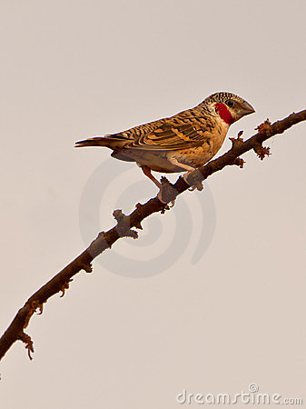 The Cut-throat Finch