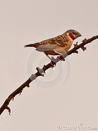 The Cut-throat Finch