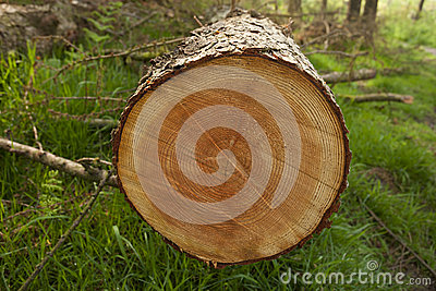 Cut tree rings in forest