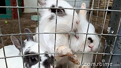 Cute affamate di furia domestica, coniglietti di fattoria bianchi e neri, coniglietti dietro le sbarre di gabbia, in fattoria di  archivi video