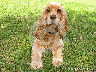 Cute american Cocker Spaniel puppy