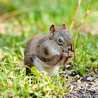 Cute American Red Squirrel feeding sunflower seed