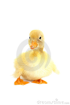 Cute animal baby duck